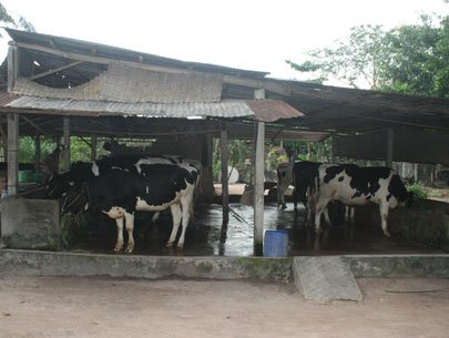 Vietnam faces challenges when building cow husbandry