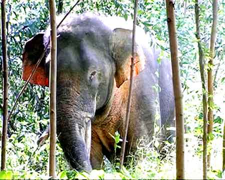 Dong Nai, wild elephant project, illegal trafficking