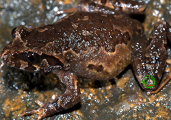 toad, new species, fansipan