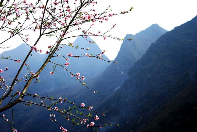 ha giang, peach, plum flowers