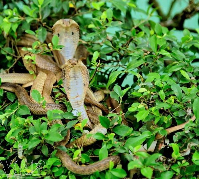 dong tam, snake farm
