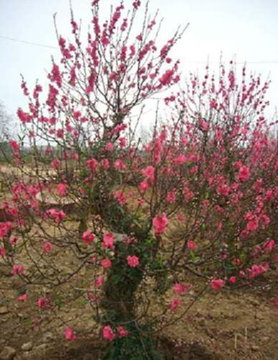 The most expensive trees for Tet