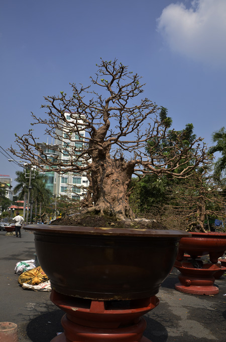 The most expensive trees for tet news vietnamnet for Most expensive bonsai tree ever