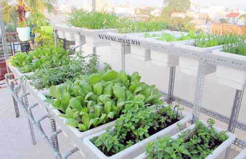 Ha Noi, HCM City, urban agriculture, vegetable-growing trays, vegetable gardens