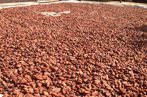 Vietnam's cocoa dream