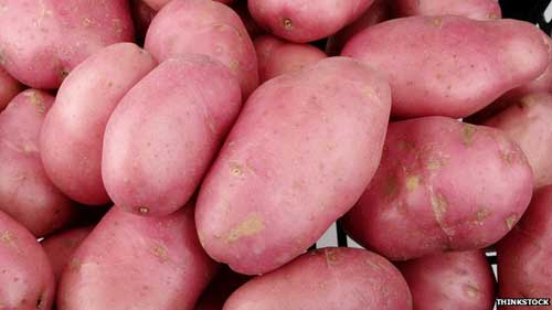 Genetically modified potatoes 'resist late blight'