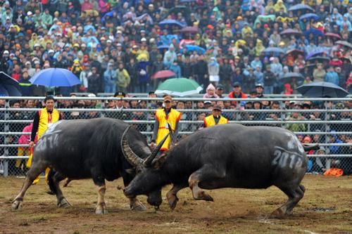 festival of buffalo fights