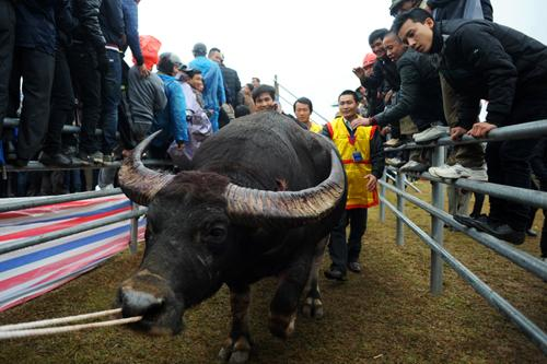 buffalo fighting festival
