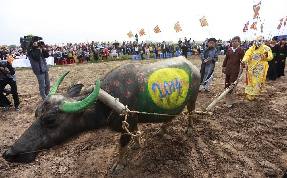 tich dien festival, colorful buffaloes