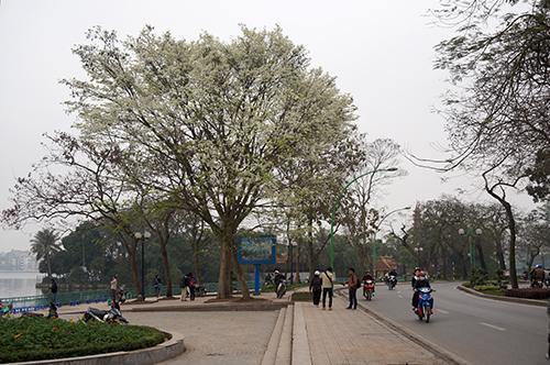 milky flower season, hanoi