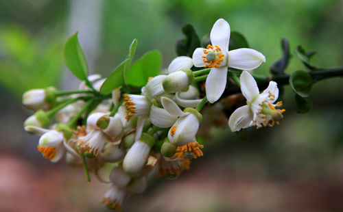grapefruit flowers, hanoi, march