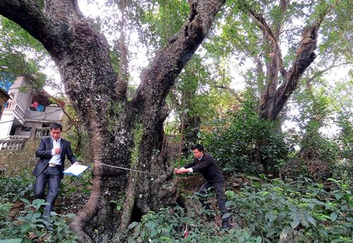 fig trees, do son, heritage trees