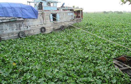 Mekong Delta, Water hyacinth
