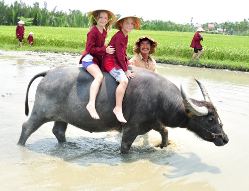 Australian kids sit on buffaloes to see the rice fields of Cam Thanh commune.
