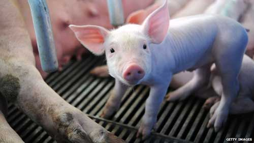 Concerns grow in Europe over threat from deadly pig virus