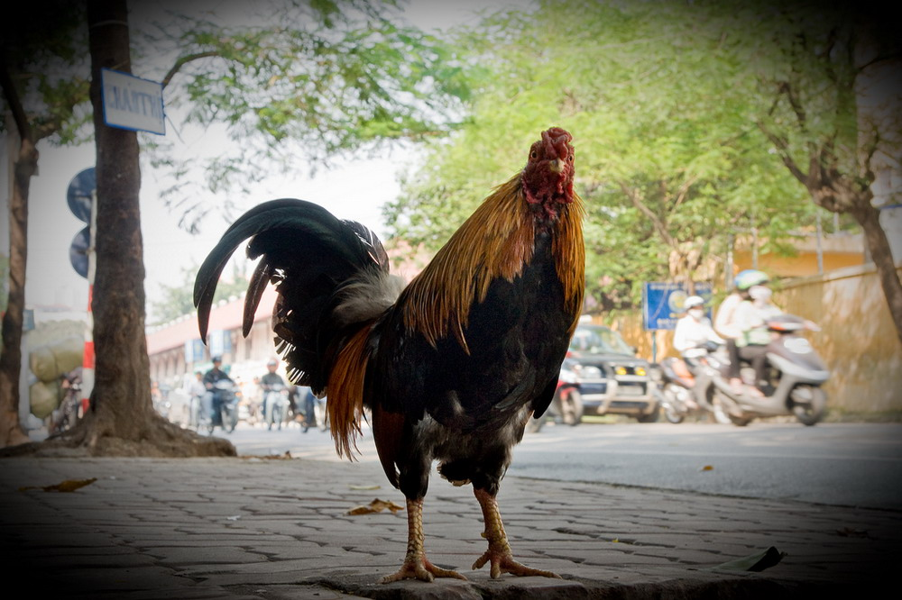 """Funny pictures of """"street-walking"""" chickens"""