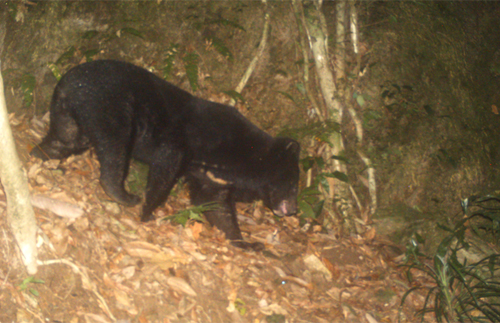 Endangered bear species discovered in Quang Nam Province