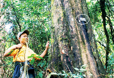 Lam Dong's red pine trees in danger of disappearing
