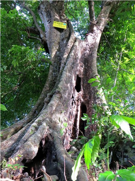 ancient fig trees, Do Son, heritage tree