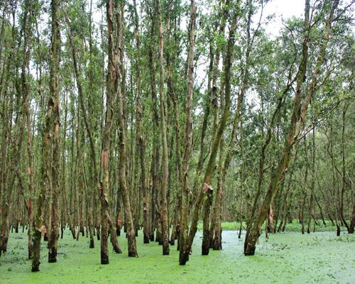 Mekong Delta, mangrove forests