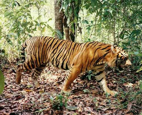 Vietnam, saving wild tigers, Pu Mat, Yok Don national park