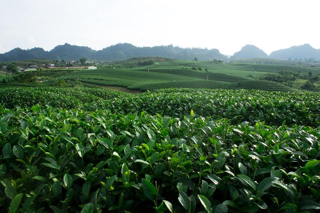 tea hills in Moc Chau