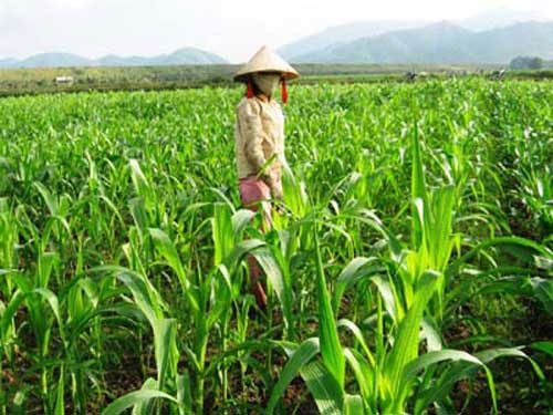 GM crops, import, biotech corn, husbandry industry, animal feed
