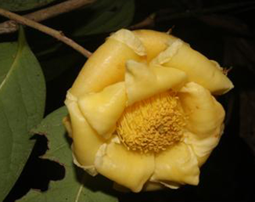 Discovery of four new species of camellia in Vietnam