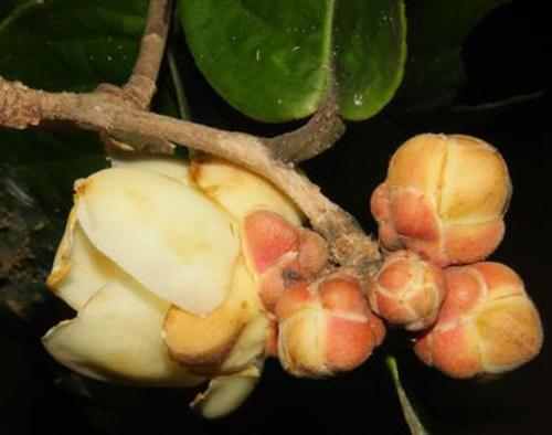 camellia species, luu hong truong, Southern Institute of Ecology, C. duyana Orel, Curry & Luu, C. ligustrina Orel, Curry & Luu, C. bugiamapensis Orel, Curry, Luu & Q. D. Nguyen, C. capitata Orel, Curry & Luu