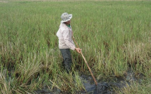 Fertile land swallowed by IZs, rice fields contaminated by industrial waste
