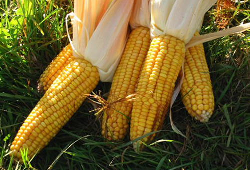 GM crops, genetically modified crops, vietnam, GM maize, GM corns