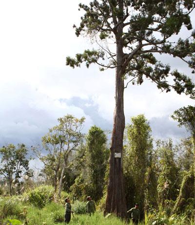 Rare yew trees dying slowly in Dak Lak