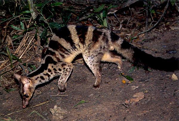 Save Vietnam's Wildlife, Owston's palm civet