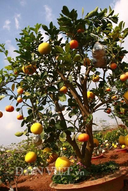 Unique Garden Of Multi Fruit Trees In Hanoi News Vietnamnet