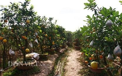 Unique garden of multi-fruit trees in Hanoi