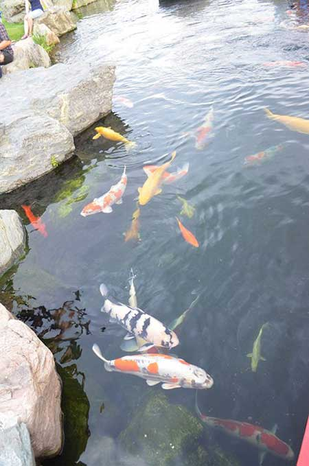 A peaceful zen garden news vietnamnet for Koi fish life span