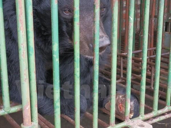 Captive bears, bear farms in quang ninh