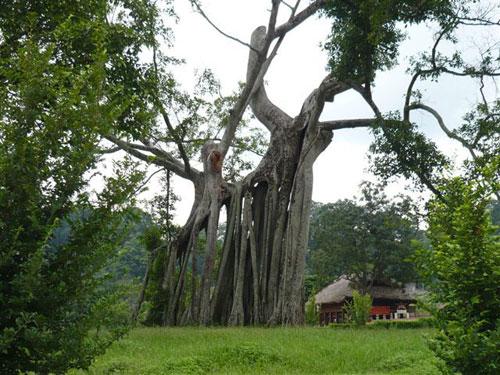 Tan Trao Historic banyan tree