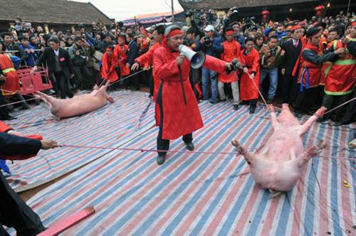 Pig-chopping festival, nem thuong village, animals asia