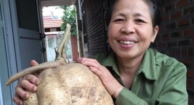 Hai Phong's woman digs up giant jicama