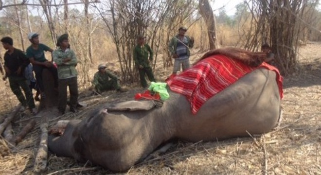 One of the five elephants that have died in Dak Lak this year. Photo provided by Elephant Conservation Center of Dak Lak province.