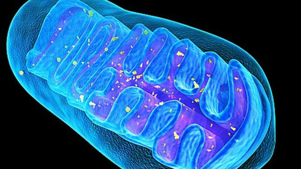 Mitochondria editing tried in mice