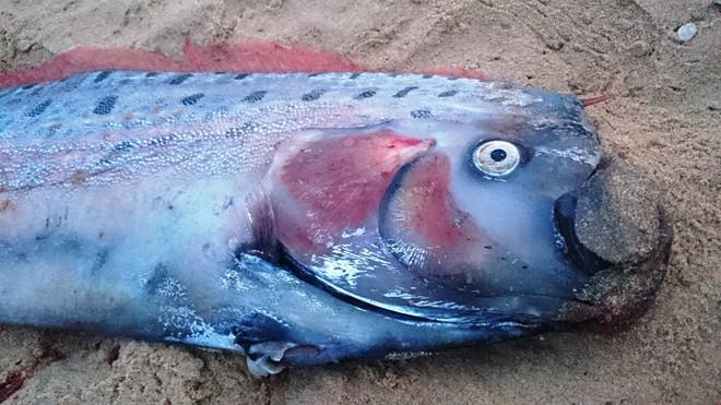 4m giant oarfish drifts on to Quang Binh's coast - News ... Oarfish Swimming