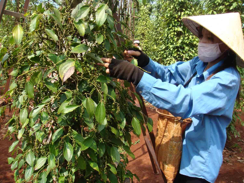 Vietnam's pepper exports to drop in 2015