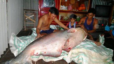Giant fish species of the Mekong River in pictures