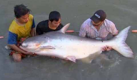 Giant fish species of the mekong river in pictures news for What kind of fish is basa
