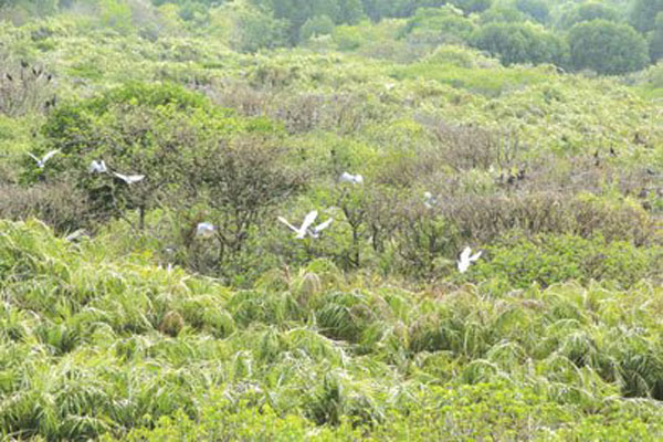 Can Gio mangrove forests, natural forest, shrimp breeding farms