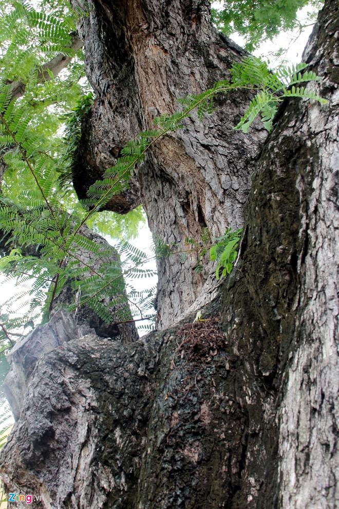 The oldest trees in Saigon
