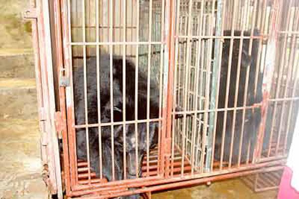 Bears killed, bear bile, lowest price
