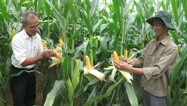 Monsanto to commercialise four new GM corn breeds